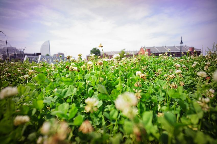 Clover Field Clover Nature In The City Green In The City I ❤️ Yokohama. City Life City View  Cityscapes Flower Nature Sky And Clouds Urban Landscape Landscape Super Wide Angle 広角機動隊 The Purist (no Edit, No Filter) EyeEm Best Shots - Landscape EyeEm Best Shots - Nature EyeEm Best Shots - Flowers EyeEm Best Shots Snapshot Walking Around Taking Photos お写ん歩 Ultimate Japan