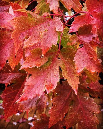 Full frame shot of wet maple leaves