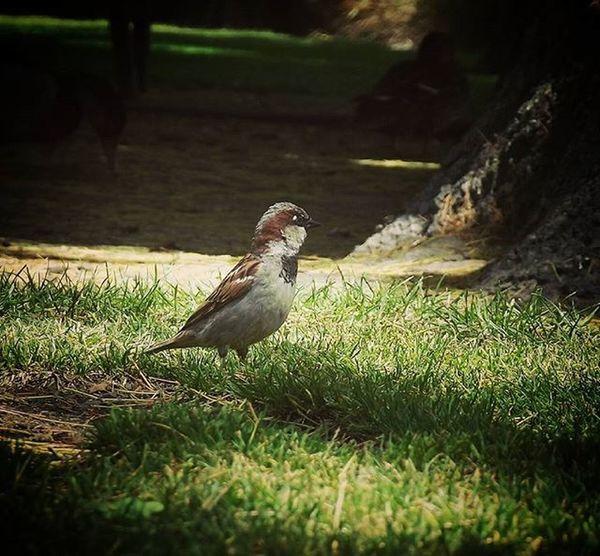 Cornwallpark Nature Park Sparrow Brownsparrow Bbft_lovelybirds 9vaga_alone9 Fyp_tclonely