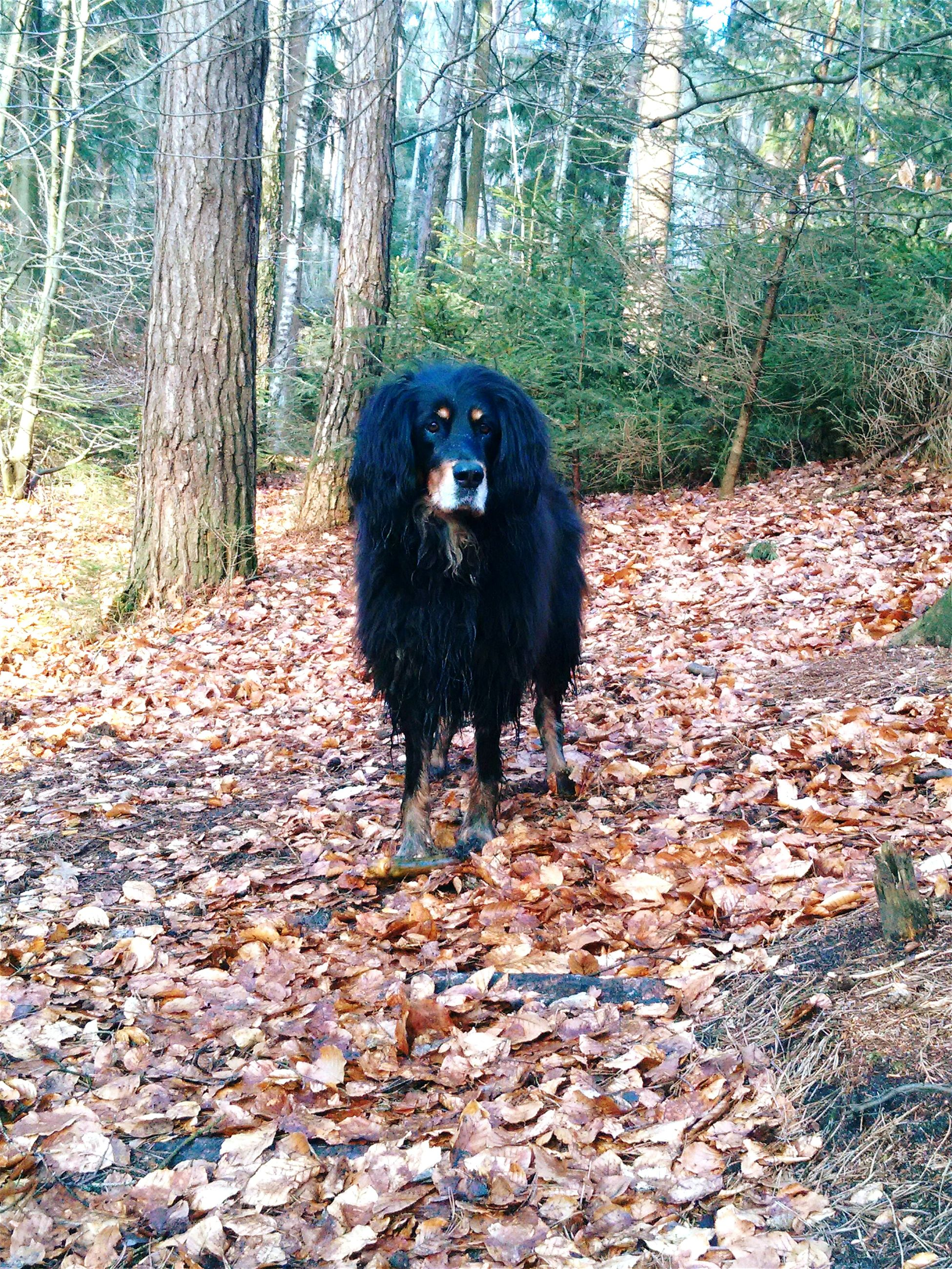 one animal, domestic animals, pets, animal themes, mammal, dog, tree, black color, full length, forest, autumn, looking at camera, portrait, nature, standing, walking, outdoors, field, no people, sitting