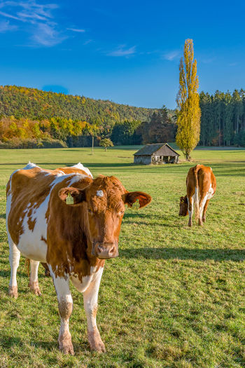 Autumn Autumn colors Odenwald  Reichelsheim/Odenwald Animal Themes Beauty In Nature Cattle Cow Day Domestic Animals Farm Animal Field Grass Landscape Livestock Mammal Nature No People Outdoors Sky Tree