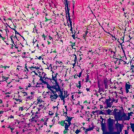 Cherry blossoms🌸🌸🌸 Pink Color No People Flower Close-up Cherryblossoms Okada