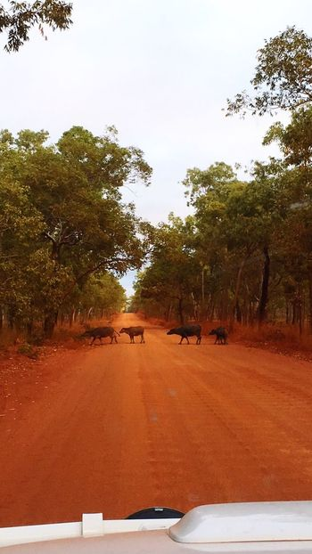 Buffaloes Water Buffaloes Nature Bush Road Trip Adventure Dirt Road Mammal Road Car Point Of View Scenics Outdoors Beauty In Nature Family Calf Buffalo Crossing Red Dirt The Great Outdoors - 2017 EyeEm Awards EyeEmNewHere
