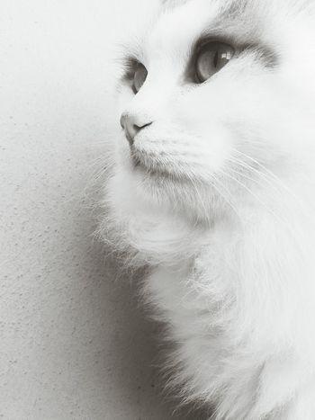 Mypet Cat Meow Blackandwhite Photography ♡