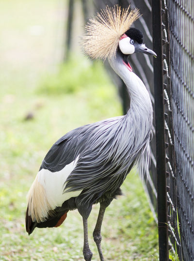 Side View Of Gray Crowned Crane Standing By Fence On Field