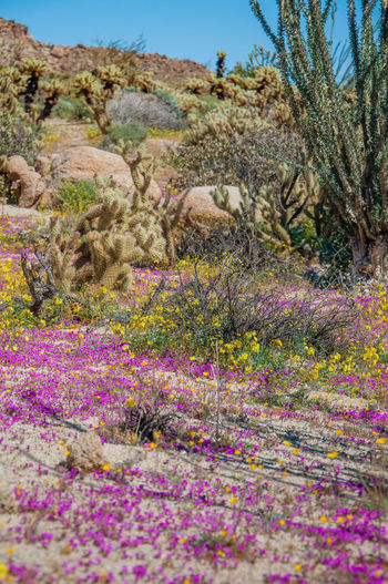 Anza Borrego Desert Flowers Plant Beauty In Nature Flower Flowering Plant No People Nature Scenics - Nature Growth Tranquility Tranquil Scene Rock Land Day Solid Rock - Object Landscape Environment Non-urban Scene Grass Outdoors Purple Anza Borrego