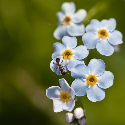 Ant on Forget Me Not Nature_collection EyeEm Nature Lover Flowerporn Naturelovers EyeEm Best Shots - Nature Macro Macroporn à Jardin Du Pellinec