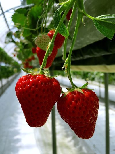 Spring Strawberry Sweet Enjoying Life Holiday Strawberry Hunting Delicious Japan