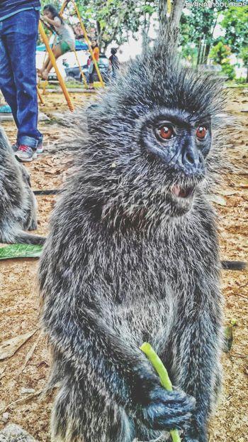 MelawatiHill Feeding Monkeys Monkey SilveryLutungMonkey
