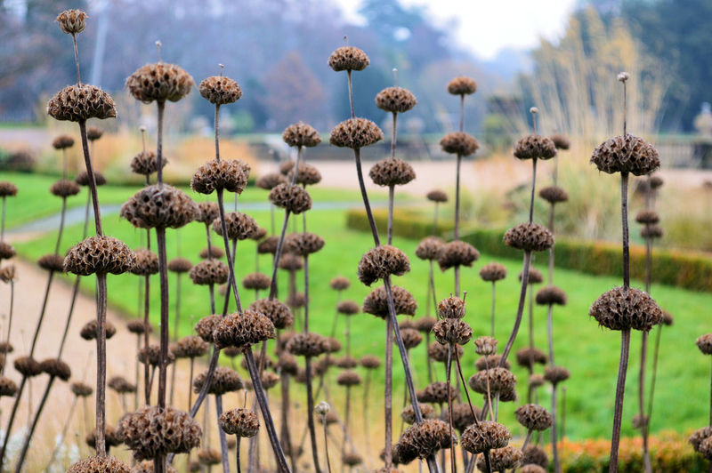 Autumn Autumn Collection Autumn Colors Autumn Garden Seed Heads Trentham Gardens Autumn Colours Autumn Flowers Beauty In Nature Close-up Day Dried Plant Flower Flower Head Focus On Foreground Fragility Freshness Growth Nature No People Outdoors Plant Sky Thistle