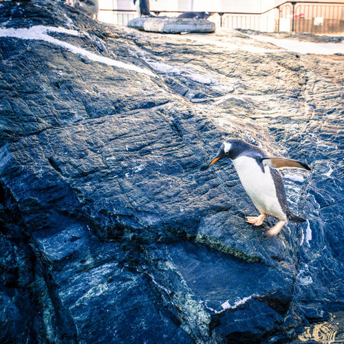 Bergen Norway Zoo Animal Animal Themes Bird Day No People One Animal Outdoors Penguin Rock Rock - Object Water