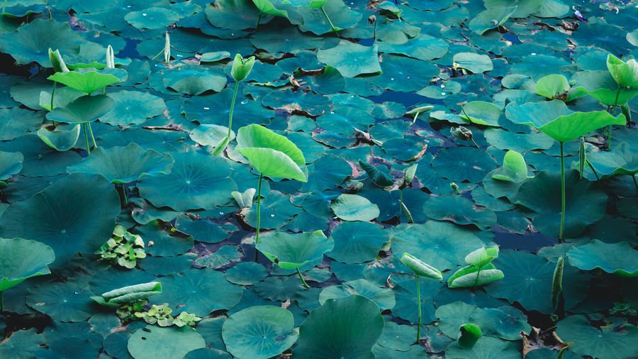 High angle view of water lily on leaves