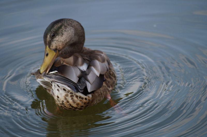 Close-up of preening duck