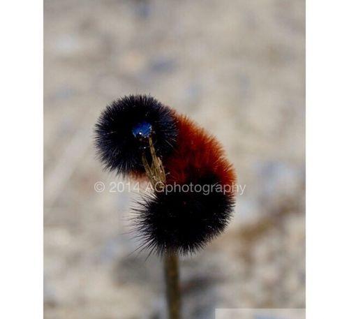 Catapiller Black Orange Focus