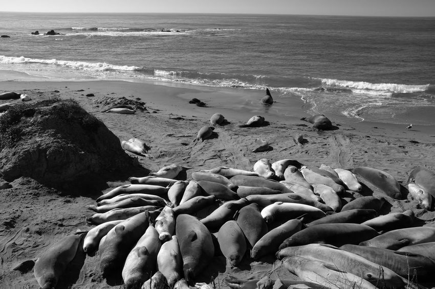 Beach Water Land Scenics - Nature Wave Nature Group Of Animals Animal Wildlife Animals In The Wild Large Group Of Animals Marine Seal Sealife Ocean Pacific Ocean Pacific Coast Sleeping Resting Sunbathing