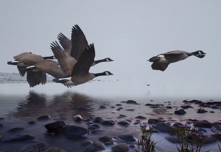 Low Leader Canada Geese Canada Geese Flying Bird Animals In The Wild Animal Themes Spread Wings Animal Wildlife Flying Nature Water No People Beauty In Nature Mid-air Outdoors Day Sky Sea