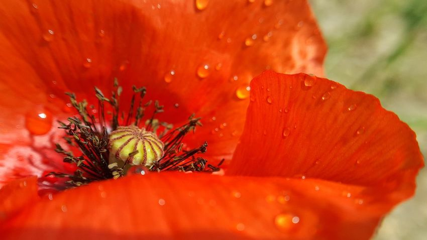 Coquelicot Etamin Coquelicot Rural Nature Nature_collection Nature Photography Naturelovers Waterdrops Water Drop Rain Spring Sringtime Focus Flower Head Flower Red Water Close-up Plant Stamen Poppy Wildflower Pistil Uncultivated Blooming Petal Pollen