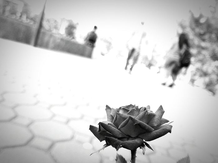 forgotten beauty Flower Fragility Focus On Foreground Petal Blackandwhite Photography Flower Head Outdoors Faded Beauty Black And White Rose Beauty In Nature Hidden Beauty Break The Mold TCPM Art Is Everywhere Cut And Paste EyeEmNewHere Black And White Friday