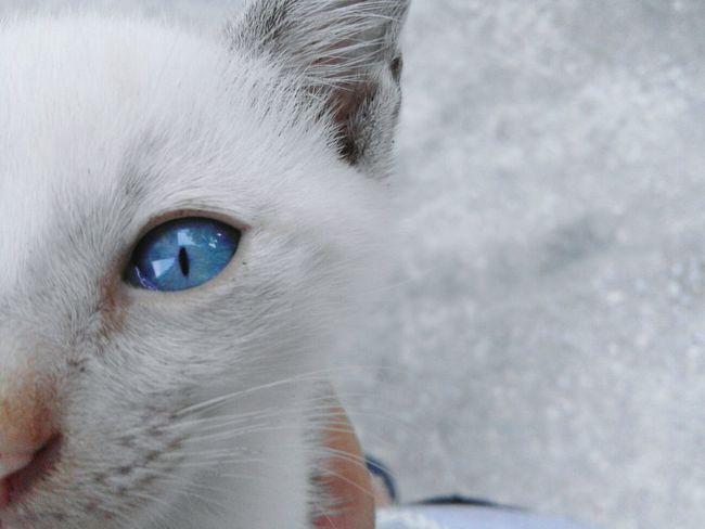 Kitten Kitten Photography Blue Eyes Lovelovelove My Kitty Cat 💙🐱