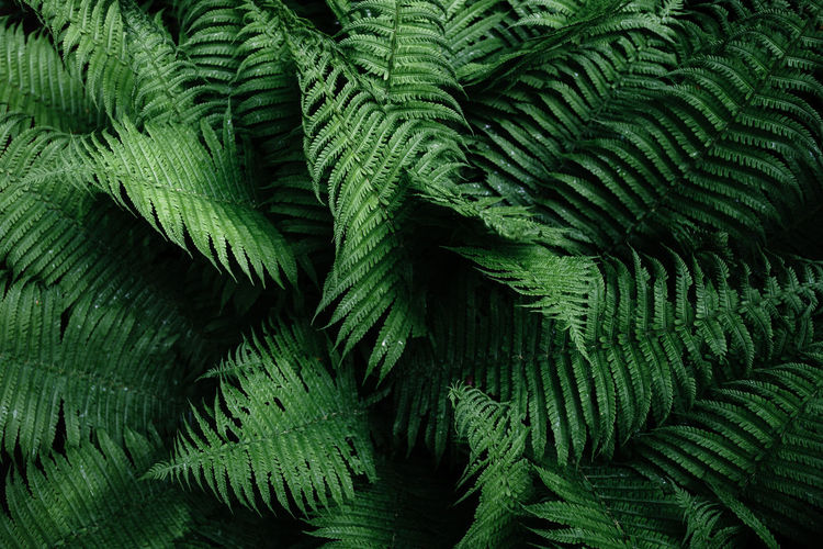 Backgrounds Beauty In Nature Botany Close-up Day Fern Full Frame Green Color Growth High Angle View Leaf Leaves Natural Pattern Nature No People Outdoors Pattern Plant Plant Part Rainforest Tranquility Tree