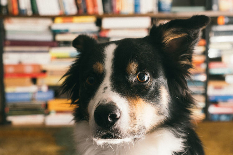 A border collie in front of a stack of books. Animal Themes Bookshelf Close-up Day Dog Domestic Animals Indoors  Mammal No People One Animal Pets Portrait Smart Smart Simplicity Standing Stare