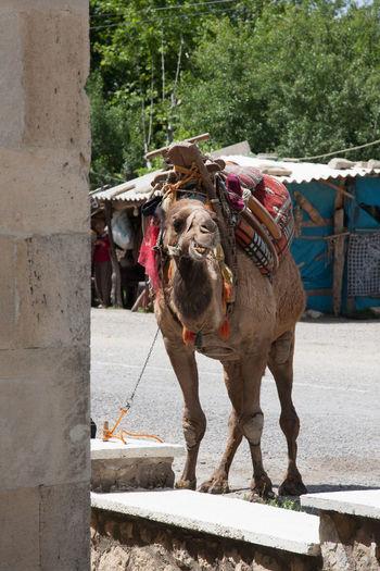 Kawanserie Alarahan, Kamelfühere für Touristen Camel, Animal Kawnserei Alaharan, Kamelführe Travel Photography Turkey Day Domestic Animals One Animal Outdoors Travel Destinations