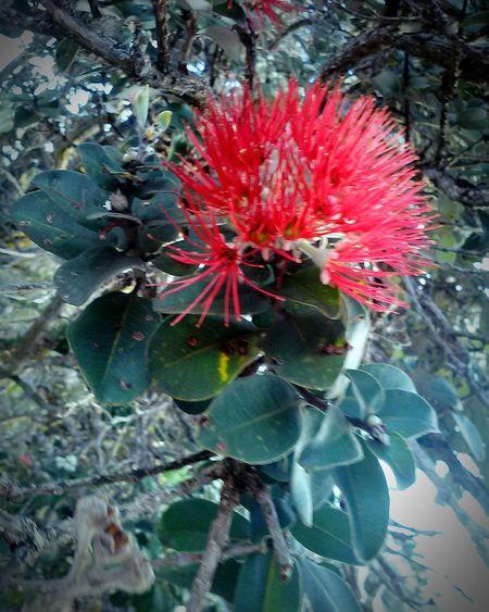 Nature Photography Ohia Trees Ohia Blossom Big Island Love ♥ Hawaii KAU USA Roadside