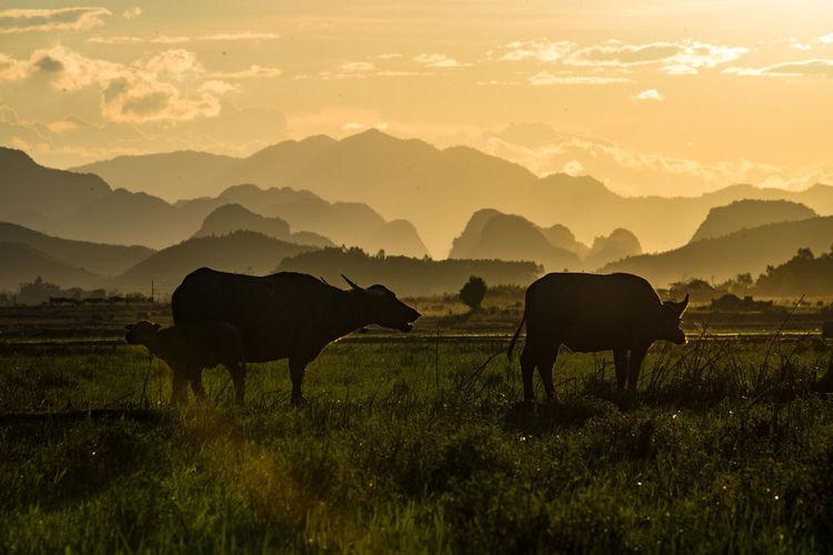Water buffalo at phong nha, vietnam