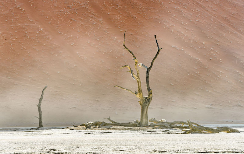 Dead tree on snow covered land