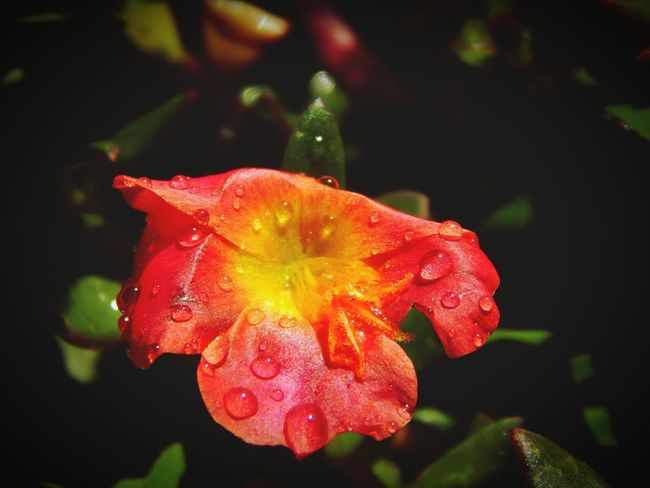Nature Freshness Growth Wet Flower Drop Beauty In Nature Fragility Water Petal Plant Springtime Flower Head Rain Dew No People Close-up Outdoors RainDrop Day