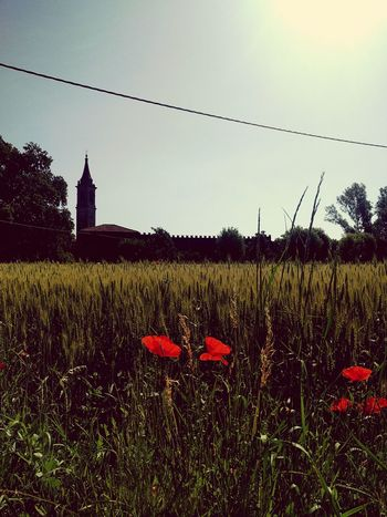 Flower Poppy Red Field Outdoors No People Grass Day Summer Sky Building Exterior Flower Head Bologna Landscapes