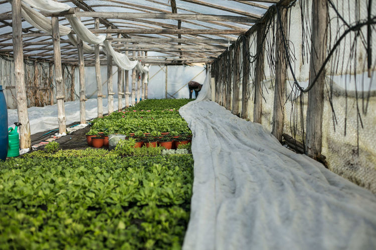 Man Working By Plants In Greenhouse