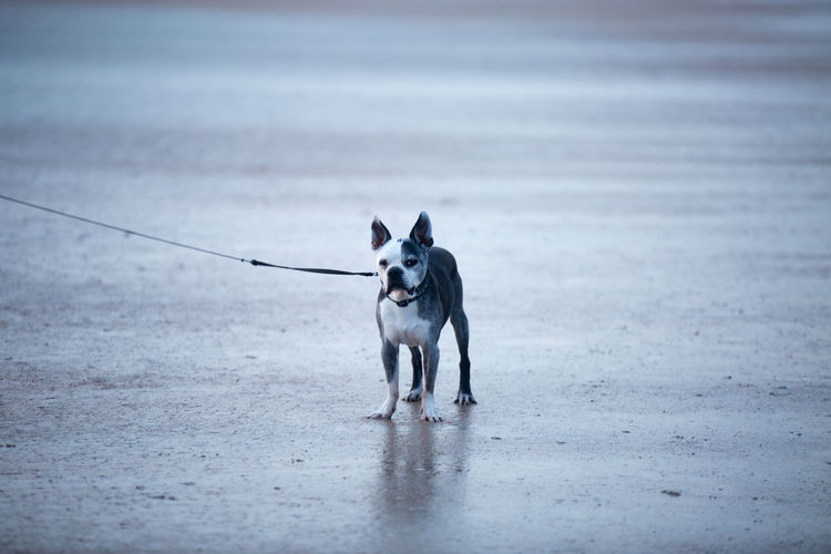 Portrait Of French Bulldog Standing On Sand At Beach