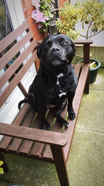 Roxy ❤️ Staffyuk Staffygram Staffysmile Staffylovers Staffylovers Staffordshire Bull Terrier Staffy Dog Pets One Animal Sitting Domestic Animals Black Color Animal Themes Full Length Chair No People Mammal Outdoors Day