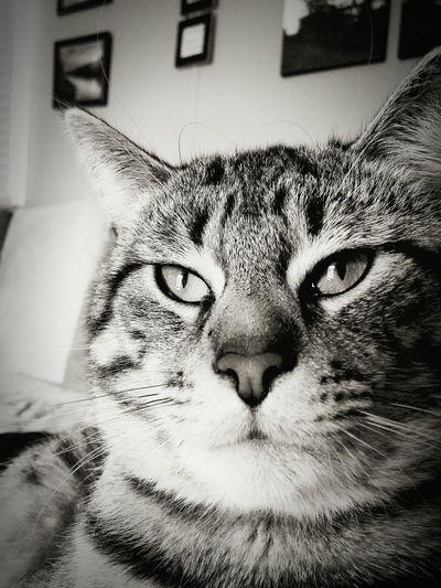 Catsofinstagram Catsagram Catoftheday Catlovers Blackandwhite Portrait Cat Eyes Instagood EyeEm Best Shots Instalike