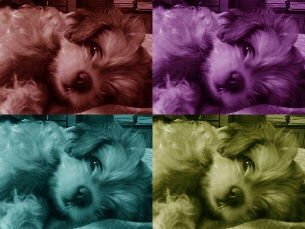 Animal Themes Close-up Dog Domestic Animals Indoors  Looking At Camera Lying Down Mammal No People Pets Portrait Shih Tzu