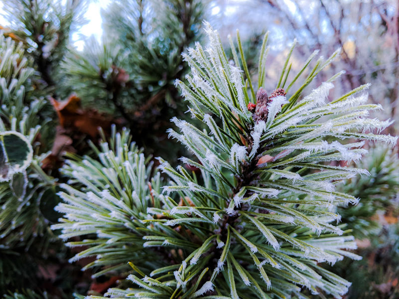 Tiny icicles and snow on the conifer for tree branch, detail of a nature in a winter season Fir Conifer  Icicle Snow Ice Hoarfrost Fir Tree Evergreen Nature Growth Pinaceae Pine Tree No People Plant Beauty In Nature Close-up Green Color Day Outdoors Tranquility Winter Needle Tree Fragility Spruce Tree