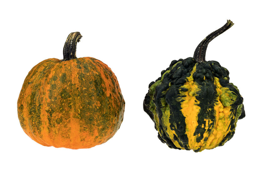 Colorful ornamental pumpkins and gourds isolated on white background. Decorative gourds on white background. Agriculture Autumn Gourd Green Color Halloween Isolated Nature Ornamental Plant Pumpkins Stripes Thanksgiving Colorful Decoration Food Gourds Harvest Healthy Produce Pumpkin Season  Squash Symbol Vegetable Vegetables