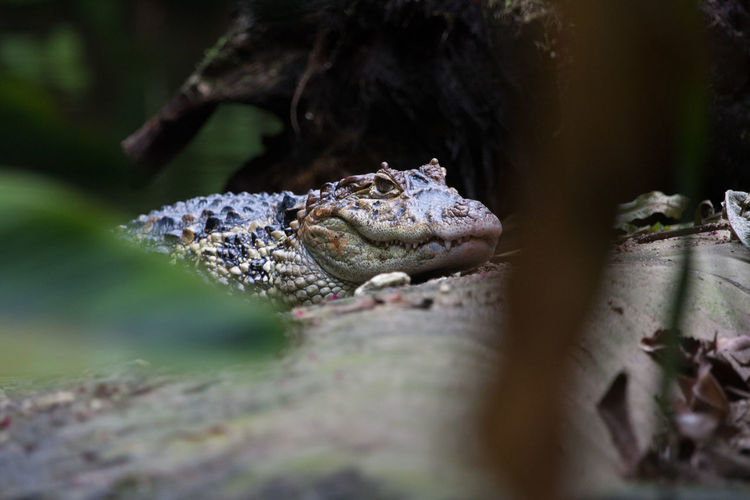 Burgers Zoo - Broad-Snouted Caiman (Aligator) Alligator Burgers Zoo Reptile Alligators Animal Themes Animal Wildlife Animals In The Wild Caiman Caimanes Close Up Close-up Day Nature No People One Animal Outdoor Outdoors Outdors Reptile Reptiles Selective Focus EyeEmNewHere The Week On EyeEm
