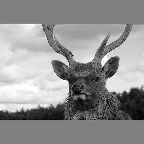 Wildlife Deer Stag Antlers Reddeer Scotland ScottishBorders Animals Lifeasiseeit Mono Blackandwhite Johnnelson Monarch Monarchoftheglen