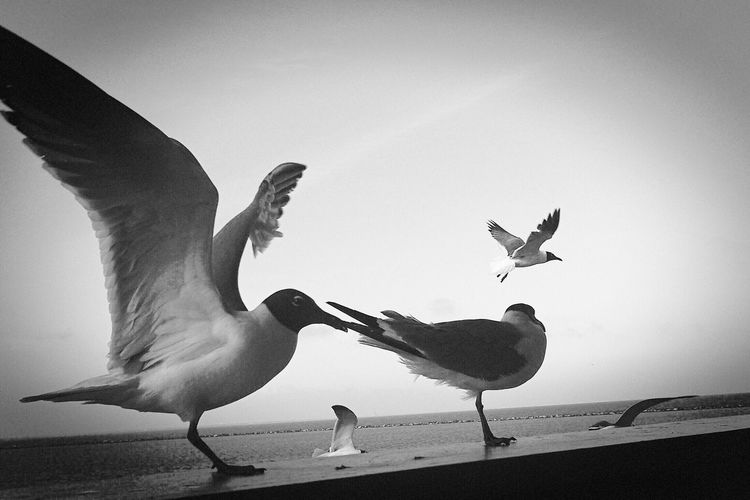 Corpus Christi Seagulls Bird Animals In The Wild Animal Themes Flying Animal Wildlife Low Angle View Spread Wings Day No People Outdoors Togetherness Sky Nature Bws_worldwide #bnw #blackandwhite #bw #blacknwhite