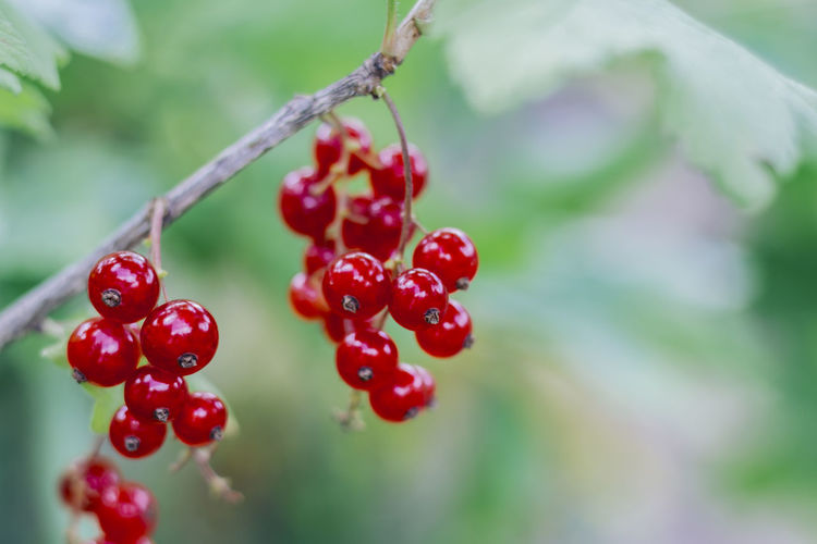 Close-Up Of Red Currant Berries On Twig