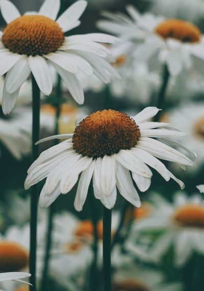 the beautiful white daisy in the garden in the nature Daisy Daisies Flower Plant White Petal Petals Nature Garden Outdoors Beauty In Nature Beauty Beautiful Fragility Fragile Romantic Love Fashion Freshness Fresh Backgrounds Wallpaper Flowering Plant Vulnerability  Growth Flower Head Pollen