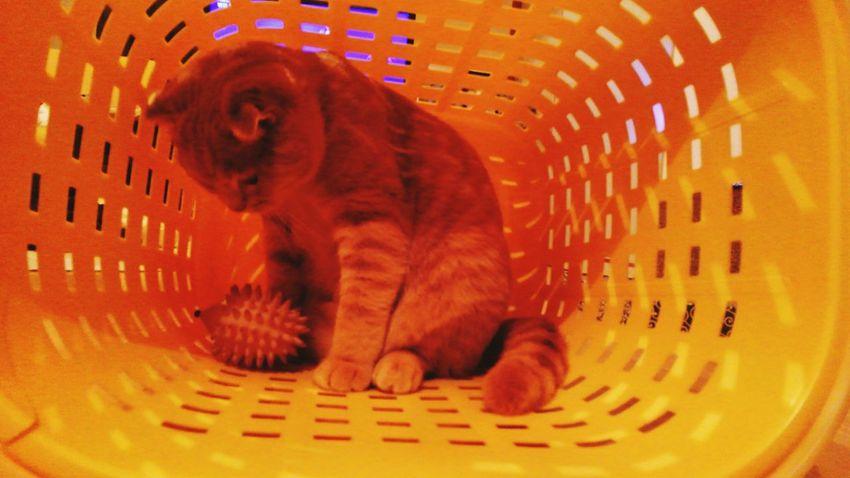 洗濯かごが、気に入ったみたい。 Holiday とっちゃん Cat