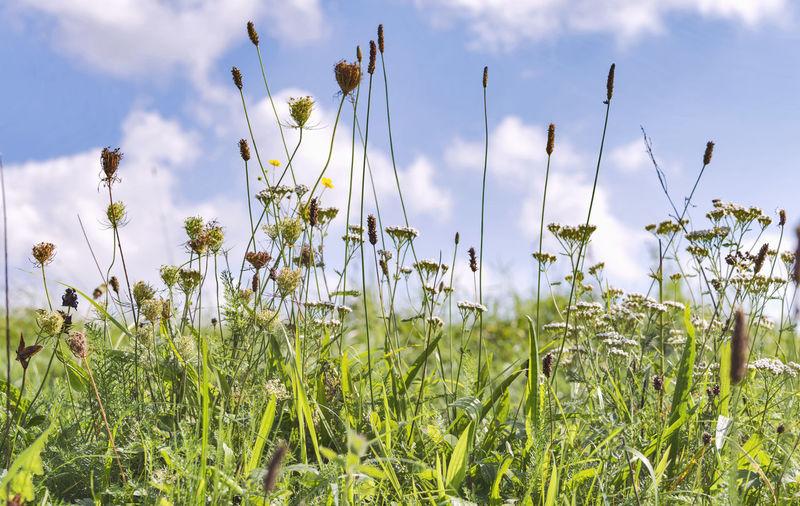 Green wild herb