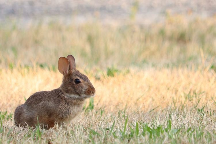 Animal Animal Themes Animal Wildlife One Animal Mammal Animals In The Wild Grass Field Land No People Nature Rabbit - Animal Day Focus On Foreground Close-up Brown Portrait