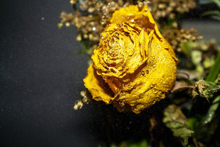 Close-up of wet yellow rose on water