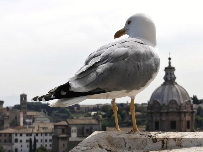 Close-up of seagull perching on wooden post against sky