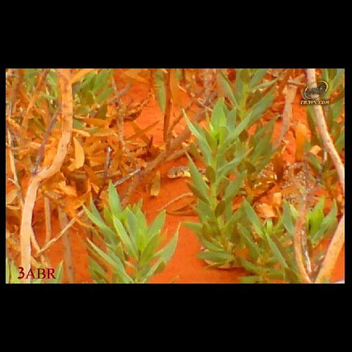 Cobra كوبرا عربية ثعبان Snake شمال روضة خريم من الارشيف السعودية مكشات nature tree تصويري ب k800i SonyEricsson