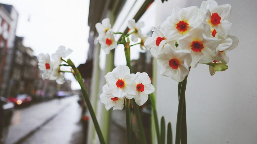 Close-Up Of White Daffodils Growing By Wall
